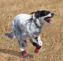 Choosing The Right Shoes For A Dog Dogdogcatblog